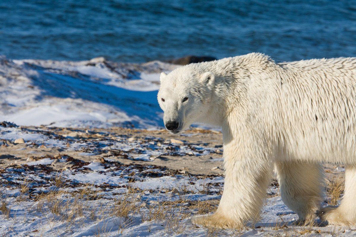 polar bear GynHKcS